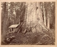 "Eadweard Muybridge, Wm. H Seward, ""85 Feet in Circumference. Mariposa Grove of Mammoth Trees, No. 51"", 1872"