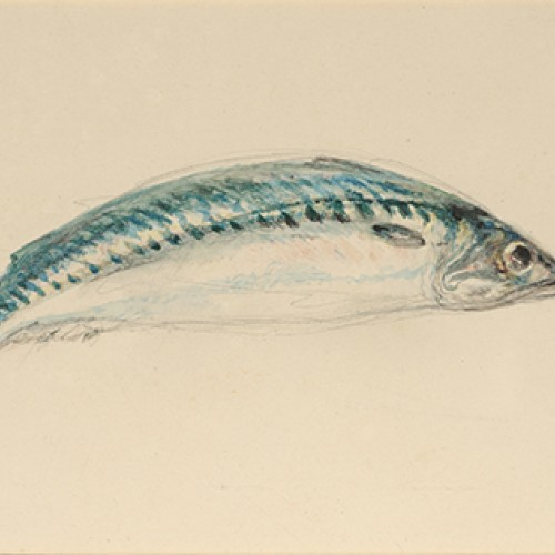 Joseph Mallord William Turner, Mackerel, ca. 1835–1840. Watercolor and graphite with traces of metallic paint on paper. Collection of Marie and George Hecksher